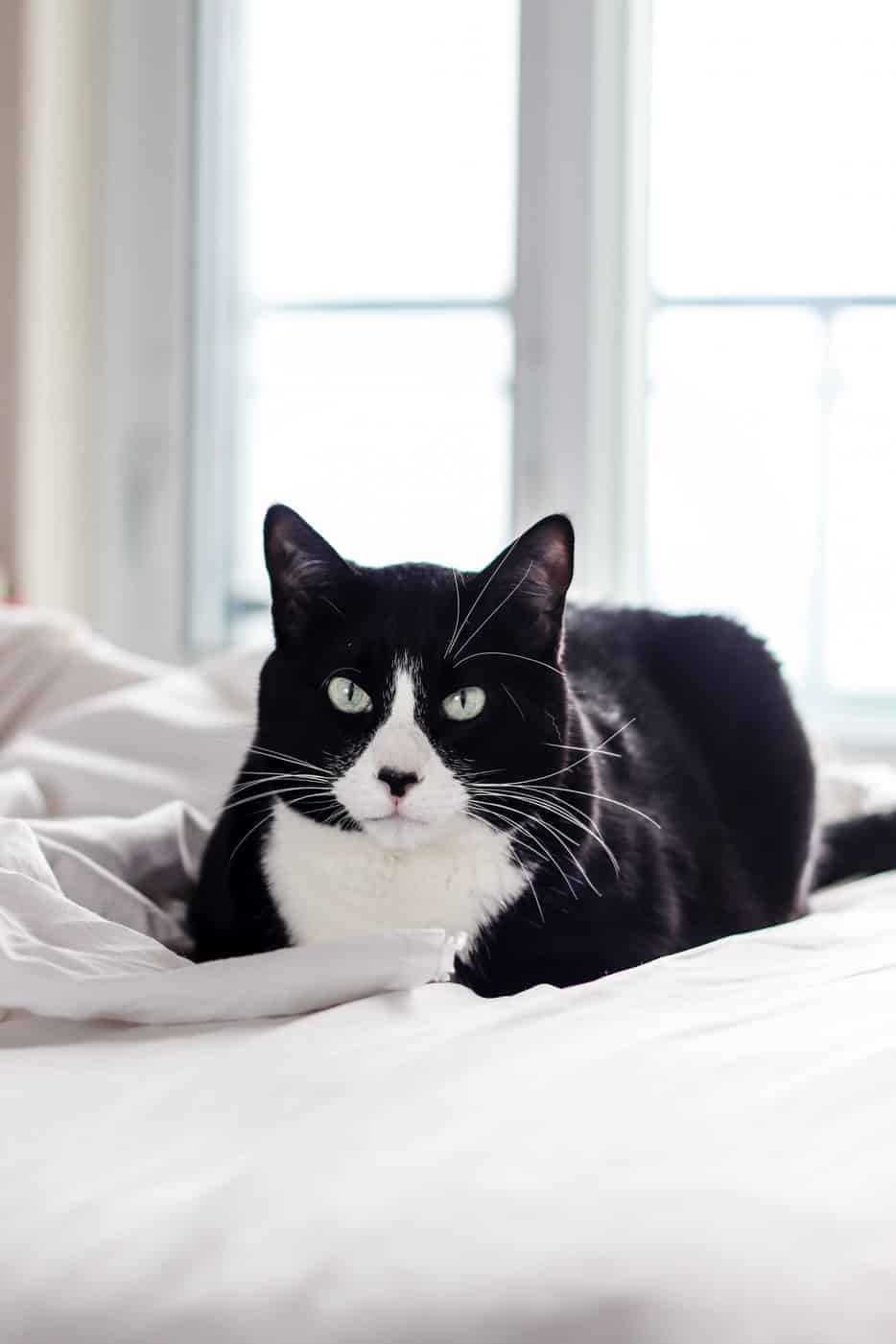 black and white cat laying on the bed. Black and white cat names often reference their unique markings