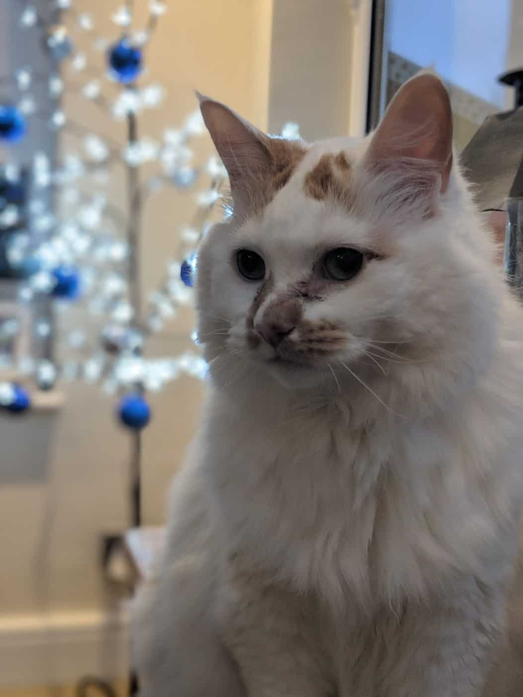 A white cat called Belle, a name inspired by the Disney Princess