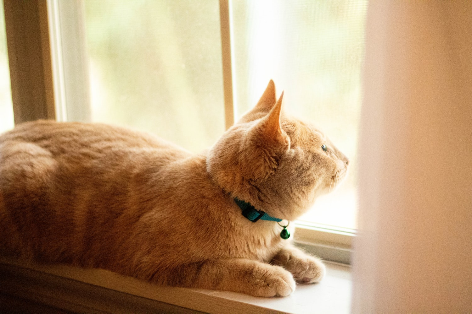 ginger cat on window ledge wearing collar with a bell