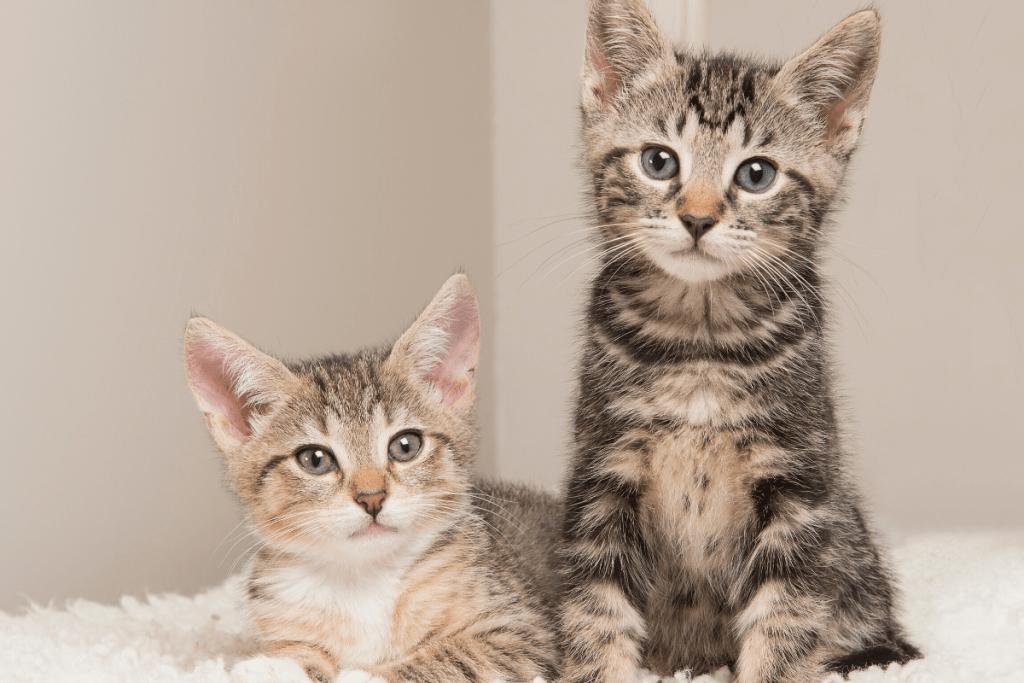 pair of tabby kittens