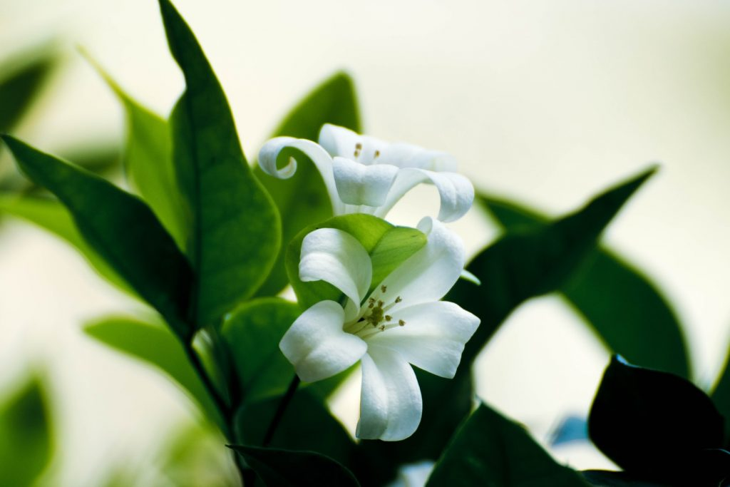 white lilies - lilies are toxic to cats