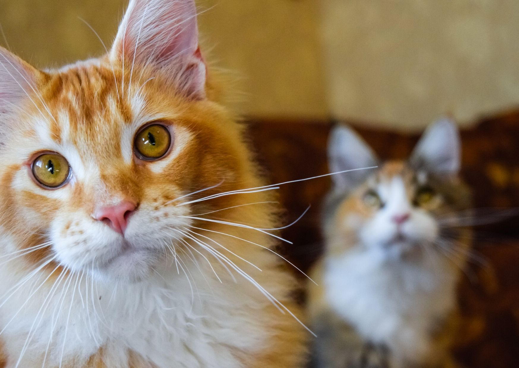 an adult ginger maine coon cat looking at camera
